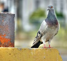 the pigeon3 by henuly1