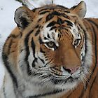 Portrait of An Amur Tiger by Michelle Kempf