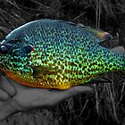 A stunning Pumpkinseed Sunfish by Marcia Rubin