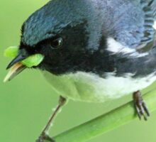 Black-Throated Blue Warbler Sticker