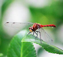 Dragonfly by AvenueJ