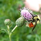 Bumblebee on Thistle by Elizabeth Bennefeld