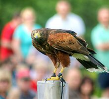 Harris Hawk..The Display Model by Jamie  Green