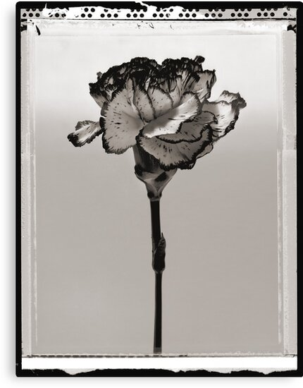 carnation by Dave Milnes