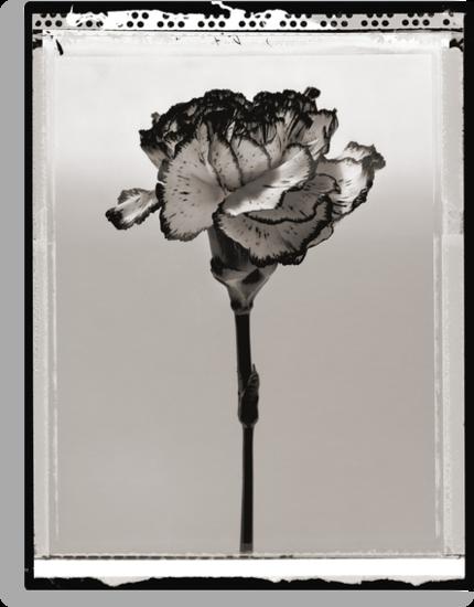carnation by Dave Milnes