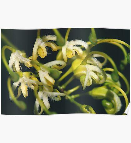 Grevillea angulata. Poster
