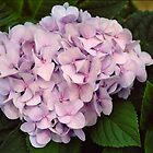 Pink Hydrangea by StonePics