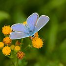 Male Common Blue by Robert Abraham