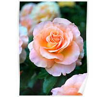 Single Peach & White Rose Bloom Poster