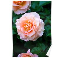Peach & White Rose Bloom Poster