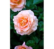 Peach & White Rose Bloom Photographic Print
