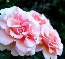 Peach & Cream Rose Blooms - Rose Garden - Sacramento, CA by labellalotus