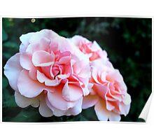 Peach & Cream Rose Blooms - Rose Garden - Sacramento, CA Poster
