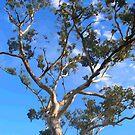Gum tree by aaronb