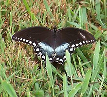 Spicebush Swallowtail Butterfly by Michele Markley