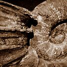 Ammonite Shell by aaronb