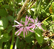 Ragged Robin by DEB VINCENT