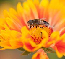 Sunshine Hoverfly by Sarah-fiona Helme