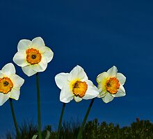The Deadly Daffodils - Brighton - England by Bryan Freeman