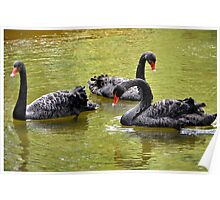Black swans with red beaks Poster