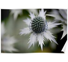 Sea Holly 2 Poster