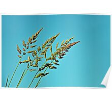 Pasture Grass Seed Heads Poster