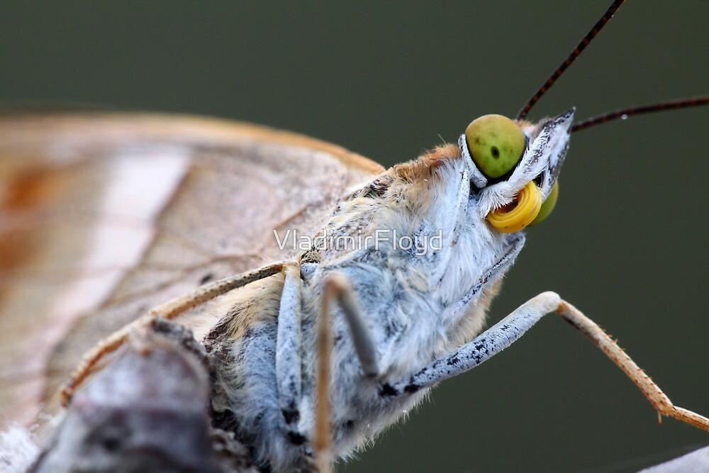 butterfly by VladimirFloyd