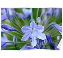 Agapanthus macro, The Rower, County Kilkenny, Ireland Poster