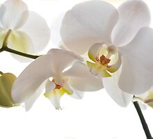 Pure White Orchid  by Caroline Benzies Photography