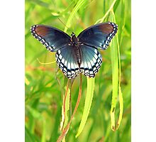 Red-Spotted Purple Admiral Photographic Print