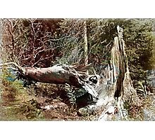 When A Tree Falls In the Forest Photographic Print