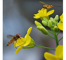 For the love of Hoverfly's. Photographic Print