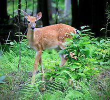 A fawn At Treasure lake by Geno Rugh
