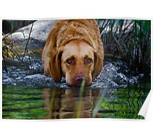 Freda, a Chesapeake hunting for bass Poster