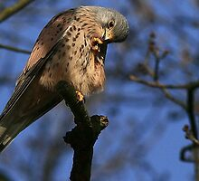 The Kestrel - None Captive by snapdecisions