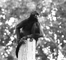 Black and white spider monkey picture by blueandwhite80