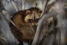 Raccoon in Tree by Michael Cummings