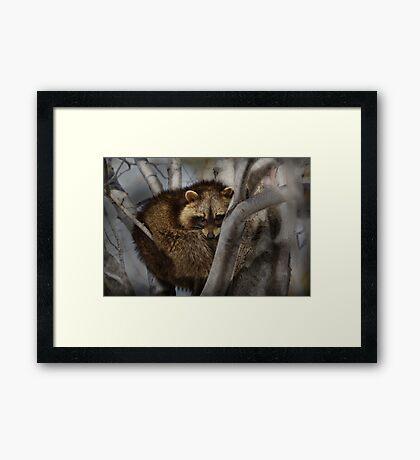 Raccoon in Tree Framed Print