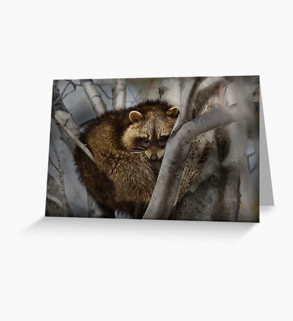 Raccoon in Tree Greeting Card