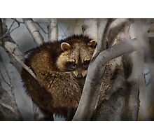 Raccoon in Tree Photographic Print
