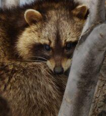 Raccoon in Tree Sticker