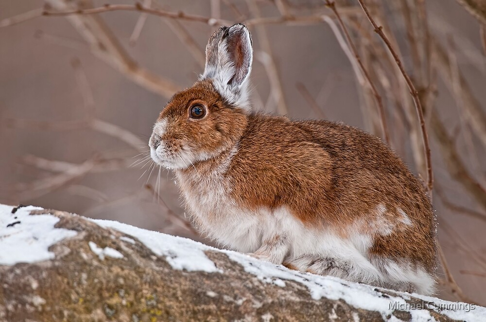 Snow Shoe Hare  by Michael Cummings