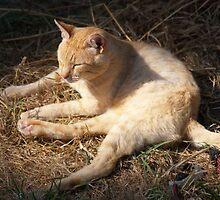Orange Feral Cat Nap by Pagani