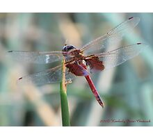 Dragonfly ~ Red Saddlebags (Male) Photographic Print