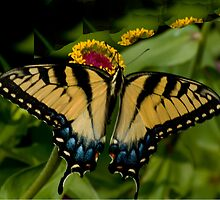Swallowtail in Splendor by Dennis Rubin IPA