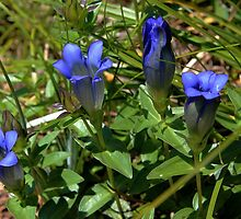 Mountain Gentian by Vickie Emms