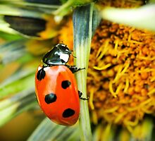 Lady bug @ work by Shehan Fernando