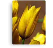 Yellow Tulips -  Dandenong Ranges. Canvas Print