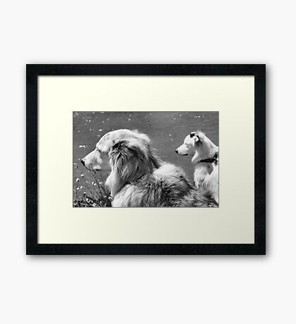 Border Collies Framed Print