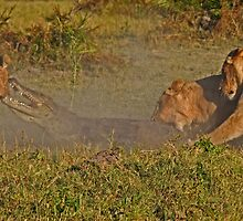 Lion -crocodile interaction 2 by jozi1